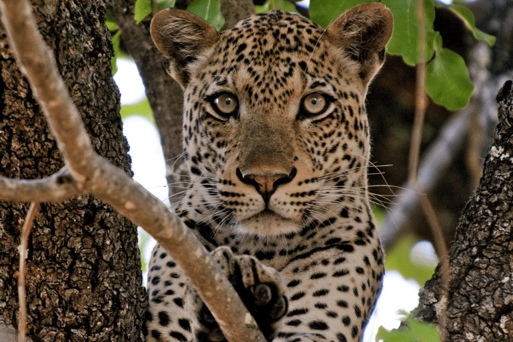 Leopard in tree luxury safari South Africa